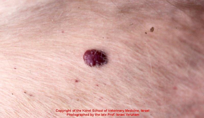 bovine leukemia virus